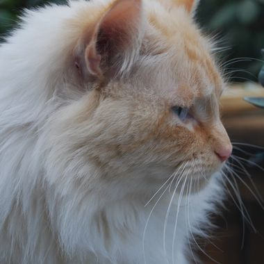 MAGGS - Magnum is a Doll Face Persian, a Traditional Persian - his colouring is called a Flame Point - 28 March 2018