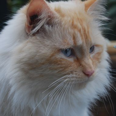 Beautiful Magnum - a Flame Point, Doll Face Persian, they are also called a 'Traditional Persian' or a 'Classic Persian' as they are the ORIGINAL PERSIAN CAT - March 28th, 2018