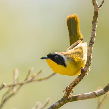 Common Yellow Throat-1285
