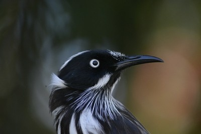 head shot ( new holland honey eater
