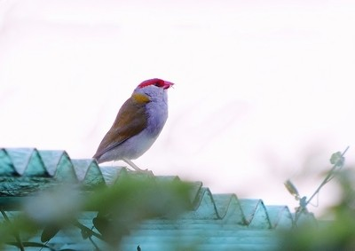 Red Brow Finch,,,,,,,,,,,DSC_3661