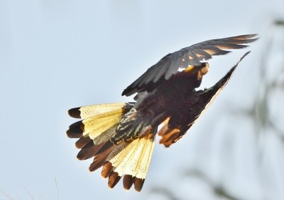 Yellow Tail Black Cockatoo,,,,,DSC_3761