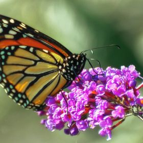 This beautiful monarch butterfly was photographed seeking pollen from a flower.