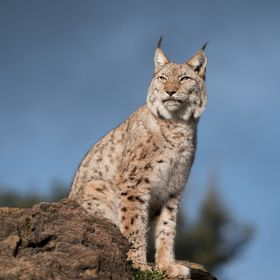 Boreal Lynx enjoying rays of sun ahead of a new coming storm
