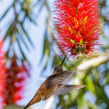 Rufous Hummingbird-1503