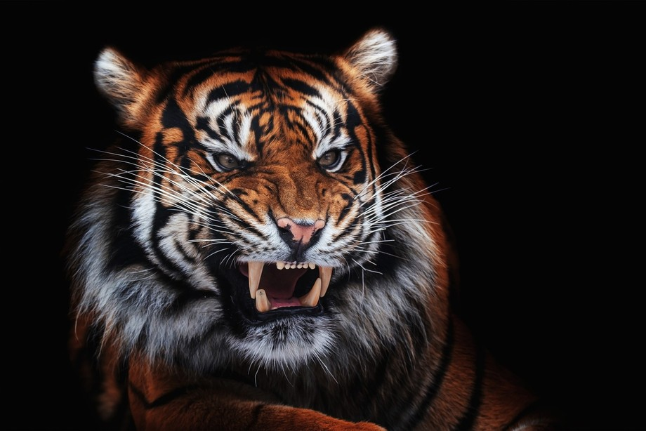 one photo of the male tiger