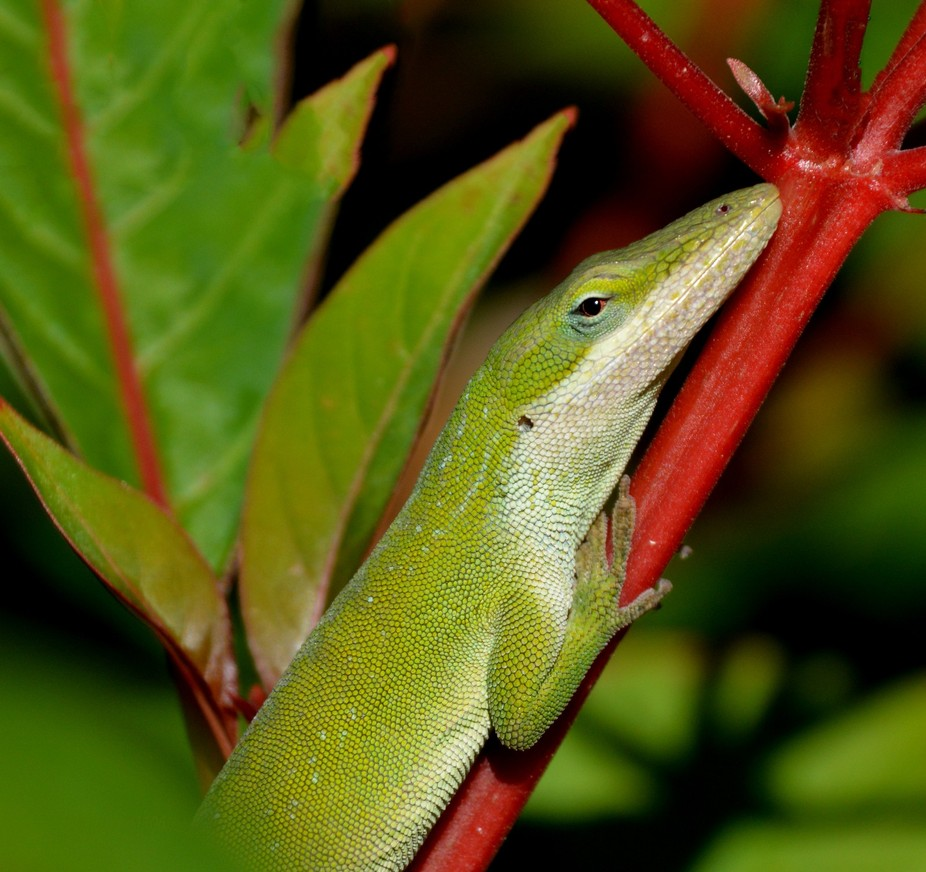 These lizards have the ability to change colors for camouflage, ranging from pale green to dark b...