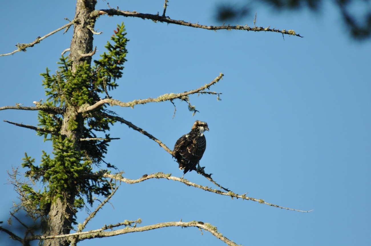 A young osprey that nested next to us.