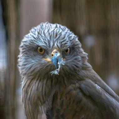beautiful close up  bird of prey portrait