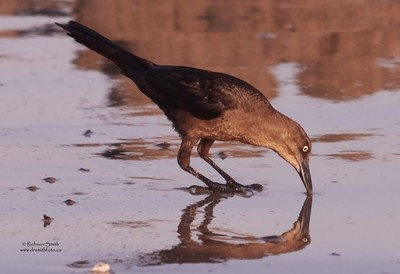 Female Great-tailed Grackle digging - Quiscalus mexicanus - Photo by Robson Smith