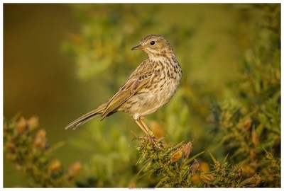 Meadow Pipit In The Golden Light