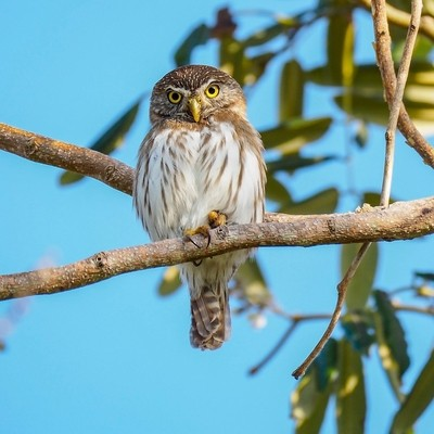 """Currently on vacation in Mexico, and was trying to find some """"jungle birds"""", when i spotted a familiar shape. But not the same bird. Ferruginous Pygmy Owl"""