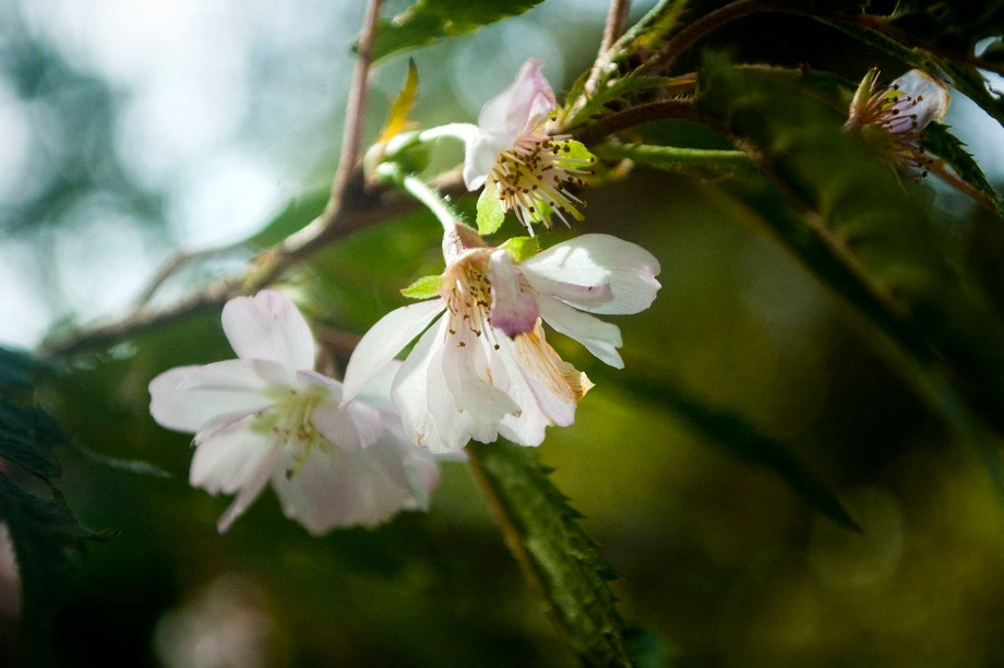 The delicate New Zealand-bred Prunus Autumnalis (also known the 'Southern Gem')...