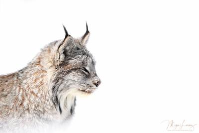 Lynx Profile