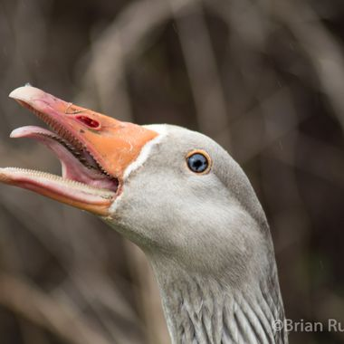 goose-9084