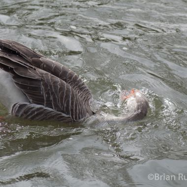 goose-8024