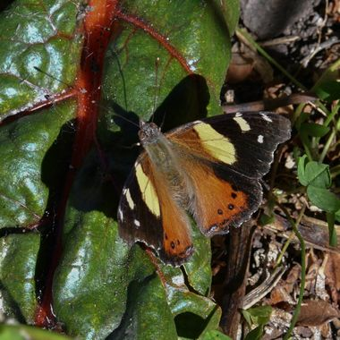 Close up of the Yellow Admiral