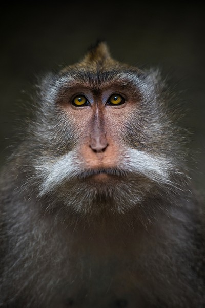 Balinese Long-tailed Macaque