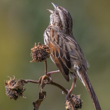 Song Sparrow-9479