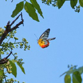 Butterfly flying up to the flowers of a tree.