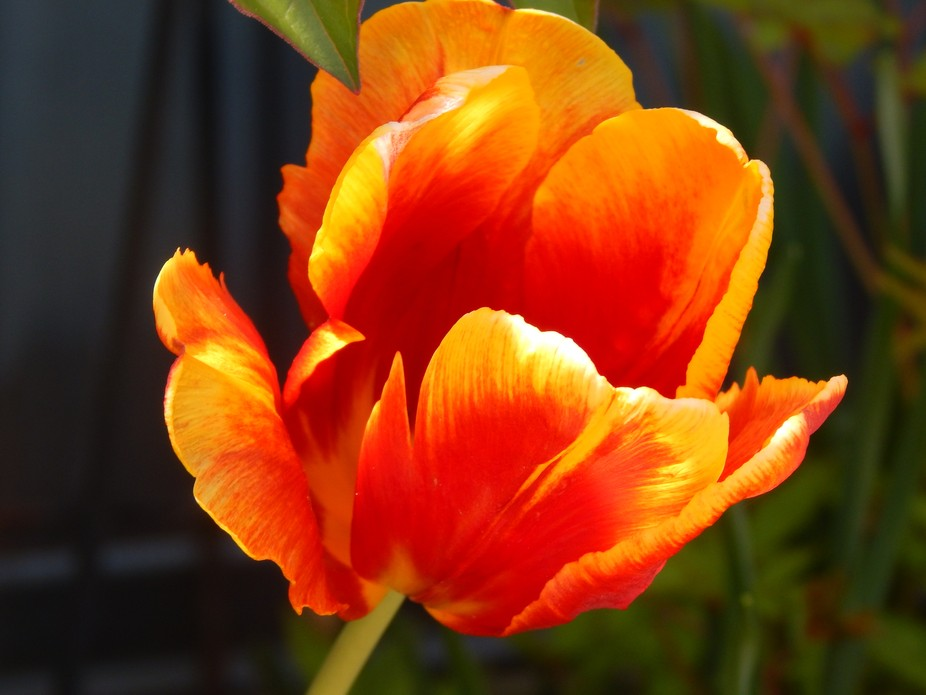 Beautiful detail of a tulip