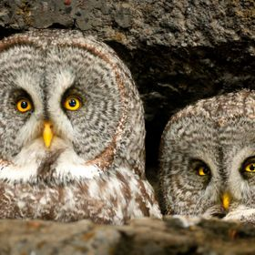 A beautiful location in a rocky crag where two Great Grey owls have made their nest.
