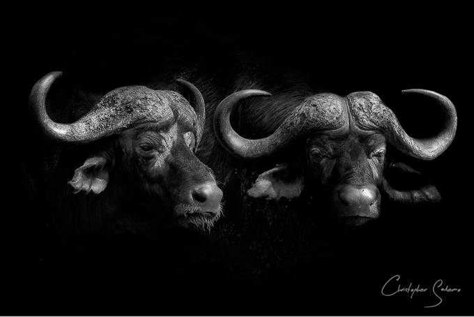 Low key Black and white photo of two male buffalo in the Kruger National Park by christophersalerno - Monochrome Creative Compositions Photo Contest