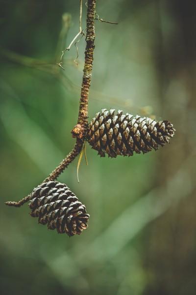 Pine Cones on Long Needle Limbs of the Ponderosa Pine Tree