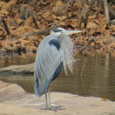 Great Blue Heron, Potomac River, MD, IMG_2825