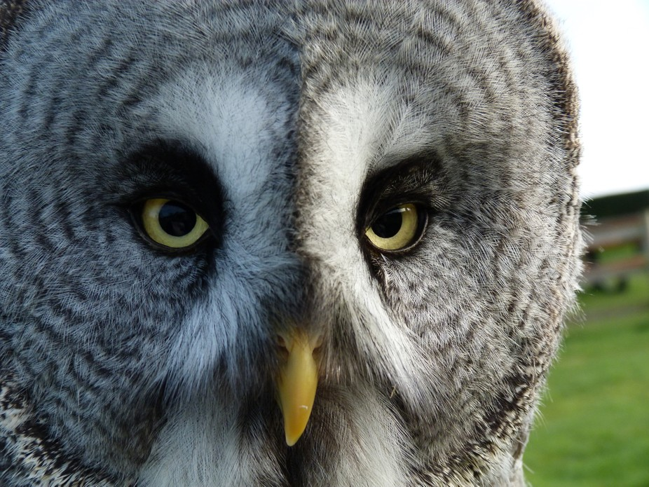 This gorgeous fellow was saved by an owl Sanctuary  in the UK and I was privileged to be able to ...