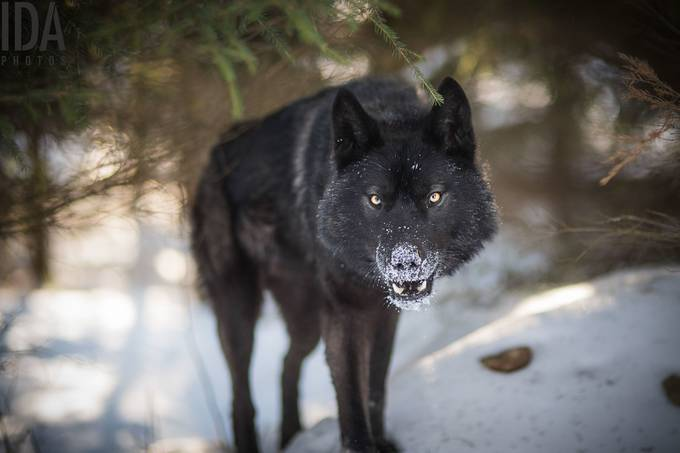 The wolfdog by IDAphotos - Wolves Photo Contest