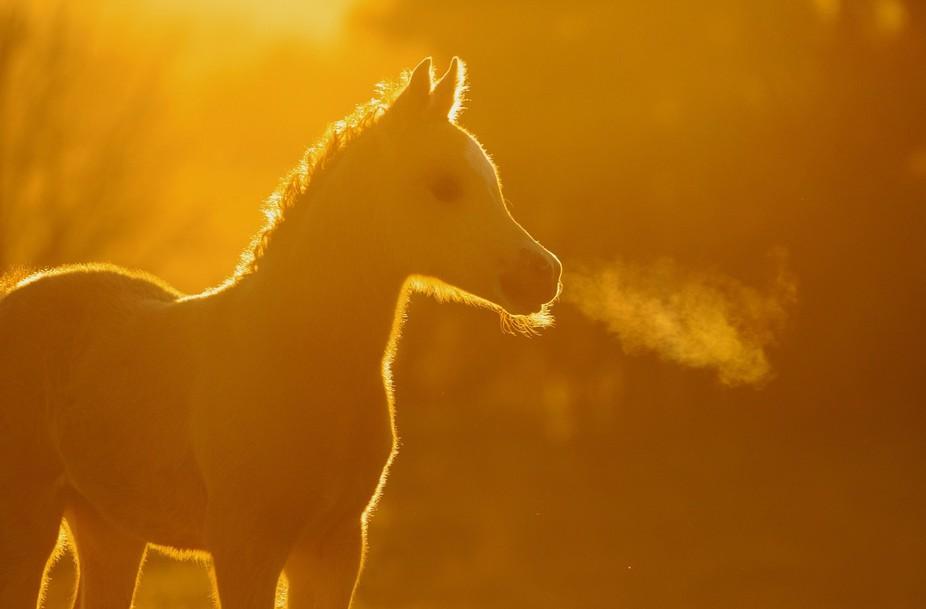 Foal in Gold
