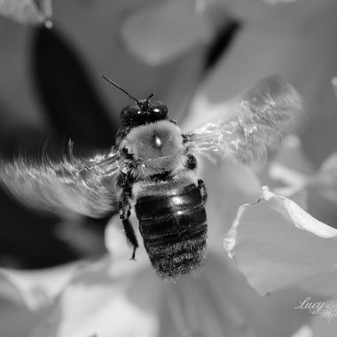 BW Bumble Bee in Flight