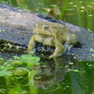 Frog, Potomac, MD, IMG_2118
