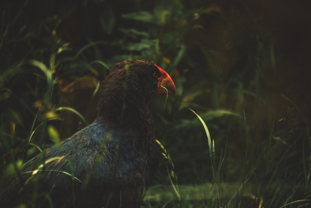 A rare Takahe, endemic New Zealand bird, spotted in Zealandia sanctuary.