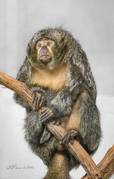 A Trip To The Zoo - White Faced Saki Monkey (I think)