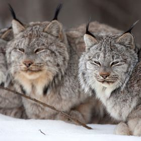 A family of wild Canada Lynx resting in the snow in Northwest, BC, Canada.
