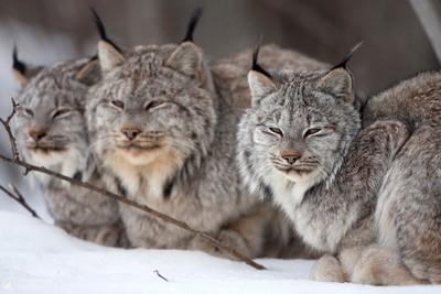 Wild Lynx Family 2