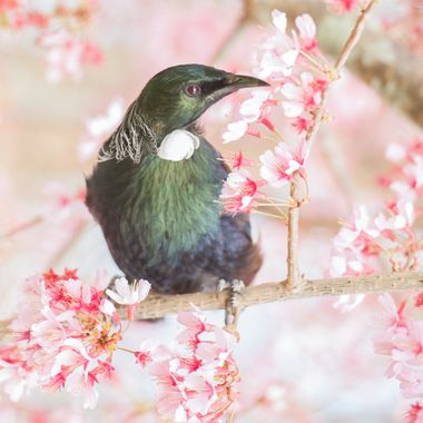 Sadly this is the last Tui I will photograph in this tree as my husband cut it down to make way for a driveway.
