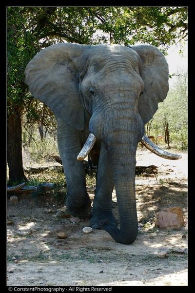 Elephant Bull in must