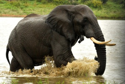 Elephant Bull at play