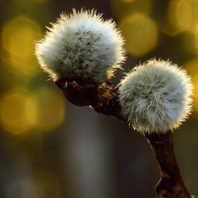 White Poplar catkins just starting to emerge against the setting spring sunset.  #trailsend #springtime #poplar #catkins #bokeh #wander #outthebackdoor #backyardnature #beautyinnature #canon_photos #canonwhatelse #canonglobal #dof_addicts #tree_captures #