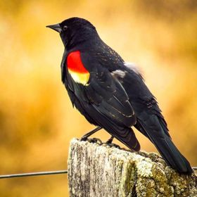 Red-winged Blackbird in the Washington County Grasslands is a sure sign spring has sprung-'conk-a-leee'. #redwingedblackbird #washingtoncount...
