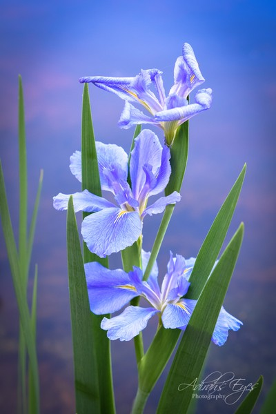 3 Irises