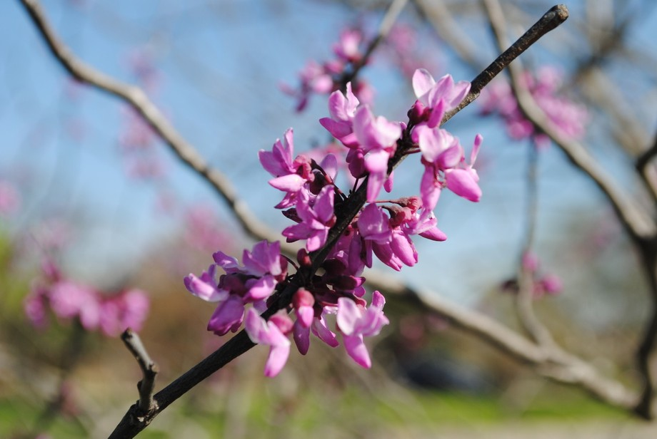 I walked around campus taking pictures of the blooms.  This particular tree looked amazing with t...