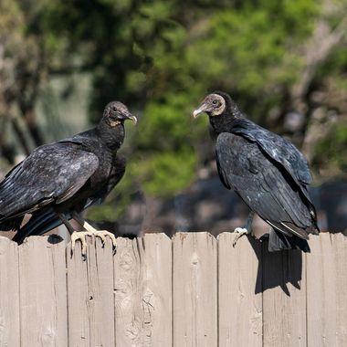 A couple of Texas buzzards hangin out on a fence near Lake Travis