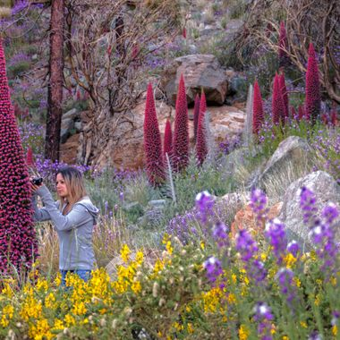 Saray trying to take some pics of the bees around the Tajinaste plant in Teide National Park during the blossoming of these plants.