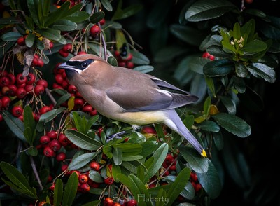 Cedar Waxwing in the Berries 143-3