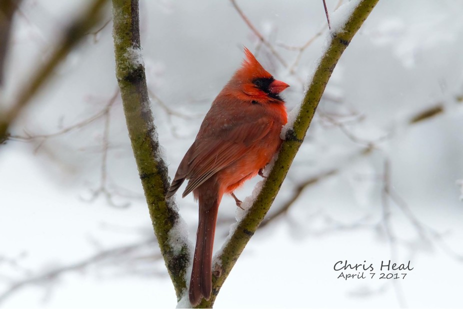 He came to find shelter in the tree outside the window in  a early spring snow storm