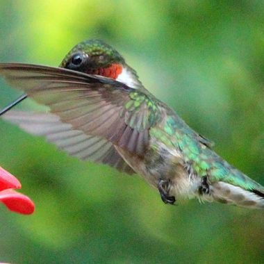 Male Hummer